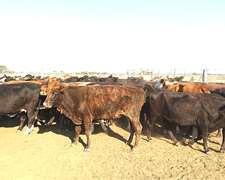 80 Vacas Invernada 340 Kg.