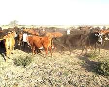 95 Vacas Preñadas Usadas