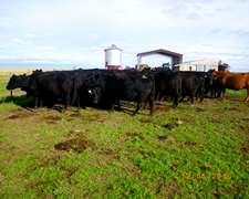 99 Vacas A.negras Cgpr.trazadas 440kg. 3/4 Diente M.riglos