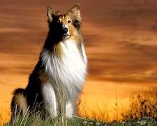 Cachorros Pastor Shetland Sheepdog Unicos