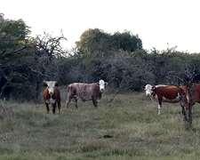 Vacas Cut Preñadas Con Bradford