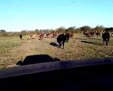 Vendo 30 Vacas Cut 28 Preñadas Adelantadas Y 2 Con Ternero
