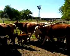 Vendo Vacas Nuevas 1° Y 2° Paricion En Entre Rios