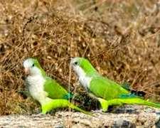 Pájaros-roedores, Langostas, El Litro