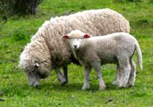 Oferta De Balanza Para Pesar Ganado Ovino,caprino,porcino