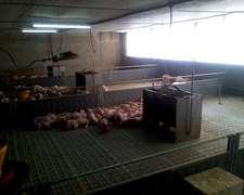 Comederos De Cerdos Para Todas Las Categorias