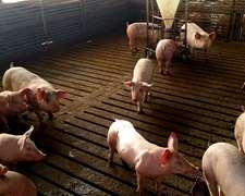 Slats Para Cerdos - Piso Ranurado Para Cerdos
