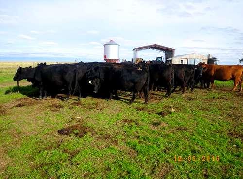 99 Vacas A.negras Cgpr.trazadas 460kg. 3/4 Diente M.riglos