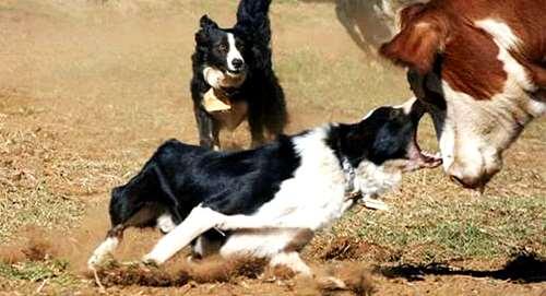 Cow Dogs(perro Vaquero, Border Collie, Criadero Fca). -