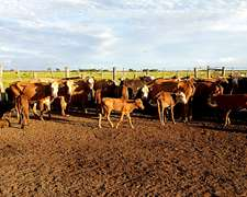 150 Vacas Preñadas Y Con Cría