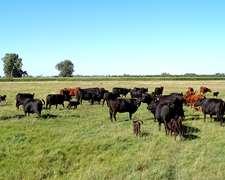 30 Vacas A A 2 Paricion Todas Nuevas Con Cria