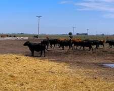 24 Vacas Entre 400 Y 450 Kg + 1 Toro 750 Kg