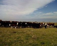 60 Vacas Prenadas Cut . Olavarria. Lote