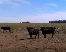 8 Vacas Viejas Vacias + 2 Descarte