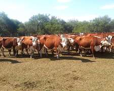 65 Vacas Con Cria Hereford