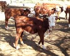 85 Vacas Con Cria