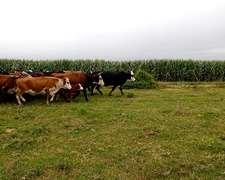 90 Vacas Preñadas Trazadas