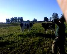 Busco Vacas Holando Paricion Marzo