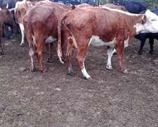 Campo Vacas Nuevas Preñadas, Cantidad 400