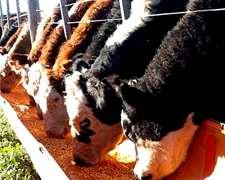 Compramos Urgente A Productor Novillos Gordos De Feed Lot