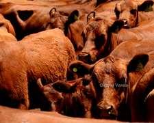 Compro 25 Vacas Preñadas Parición Julio Agosto