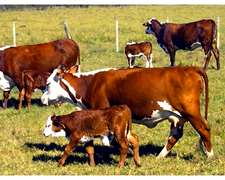 Compro Vacas Preñadas O Con Cria