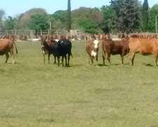 Compro Vacas Y Novillos Gordos Pago De Contado En Efectivo