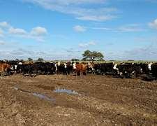 Importante Lote Vacas Preñadas