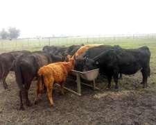 Lote De 10 Vacas De Invernada