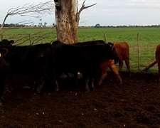 Oportunidad Vaquillonas Y Vacas Aberdinangus Puras Calidad 0