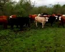 Vendo 30 Vacas Nuevas Preñadas Y Paridas