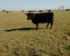 Tomo Vacas O Terneros A Capitalizar