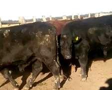 Toros Aberdeen Angus Colorado Y Negro