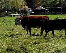 Toro Pampa Nuevos 1