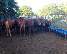 Toros De La Raza Limousin Y Limangus