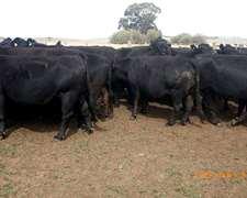 Vacas A.n.y Col. Nuevas Preñadas Y C/crias Trazada 450 Kg.