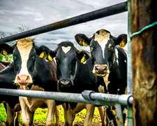 Vacas De Tambo En Alquiler.