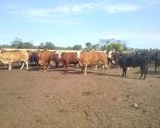 Vacas Gordas De Feedlot