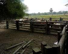 Vacas Preñadas Brangus Gordas