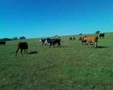 Vacas Vendo En Muy Buen Estado