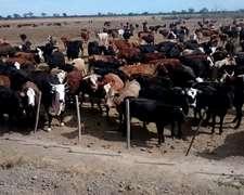 Vendemos Novillos, Vacas, Vaquillonas Zona Quimili