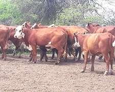 Vendo 200 Vacas Y 40 Vaquillonas Bradfort