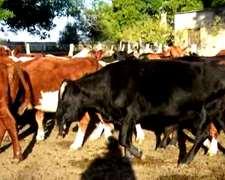 Vendo 35 Vacas Cut Preñadas