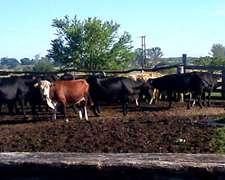 Vendo Muy Buen Lote De Vacas Usadas Preñadas