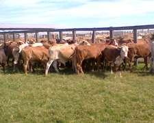 Vendo Vacas Con Cria Y Novillos Gordos