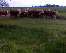 Vendo Vacas De Cria De 3 Paricion
