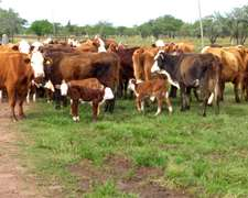 Vendo Vacas De Invernadas Y Preñadas
