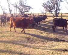 Vendo Vacas Preñas Y Con Ternero Al Pie