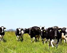 Venta Terneras,vaquillonas,vacas De Tambo
