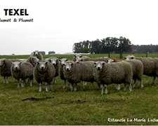 Carneros Texel Cabaña Epu Cla